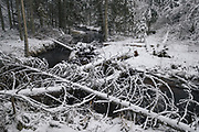 Fallen spruce trees (Picea abies) laying along and across River Līgatne on white winter day, near Nītaure, Vidzeme, Latvia Ⓒ Davis Ulands | davisulands.com