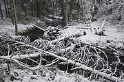 Fallen spruce trees (Picea abies) laying along and across River Līgatne on white winter day, near Nītaure, Vidzeme, Latvia Ⓒ Davis Ulands   davisulands.com