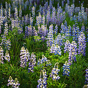 A meadow of lupine backlit at sunset in Grand Teton National Park, Wyoming.