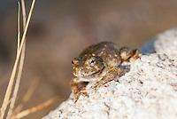 Canyon treefrog, Hyla arenicolor, sits beside an intermittent stream in Bear Canyon, Coronado National Forest, Arizona