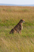 Cheetah on the prowl in the Serengeti, Tanzania