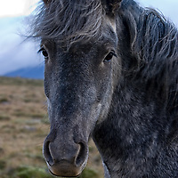 ...and a black one. In ancient times white horses were sometimes sacrified by the Norse people.
