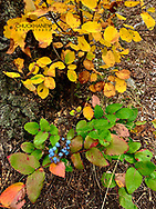 Oregon grape and fall ground cover in the Flathead National Forest, Montana, USA