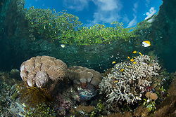 Thriving hard corals, clear water and mangroves are a rare combination. Nampele, Raja Ampat, West Papua, Indonesia, Indian Ocean