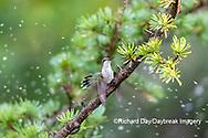 01162-15407 Ruby-throated Hummingbird (Archilochus colubris) bathing in sprinkler Marion Co. IL
