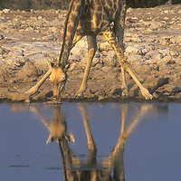 Girraffe drinking water at the Chudob Water Hole in Etosha National Park Namibia.