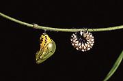 Crysalis and Caterpillar pupating<br />Tithorea harmonia<br />Amazon Rain Forest, ECUADOR,  South America