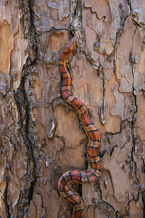 Corn Snake (Elaphe guttata), or red rat snake climbing tree.<br /> Little St Simon's Island, Barrier Islands, Georgia<br /> USA<br /> RANGE: Throughout the southeastern and central United States.