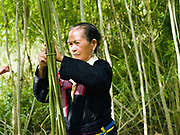 A Hmong woman wearing her traditional clothing ties up the hemp stalks after harvesting and stripping off the leaves, Ban Long Kuang, Houaphan, Lao PDR. Making hemp fabric is a long and laborious process; the end result is a strong durable cloth with qualities similar to linen which the Hmong women use to make their traditional clothing. In Lao PDR, hemp is now only cultivated in remote mountainous areas of the north.
