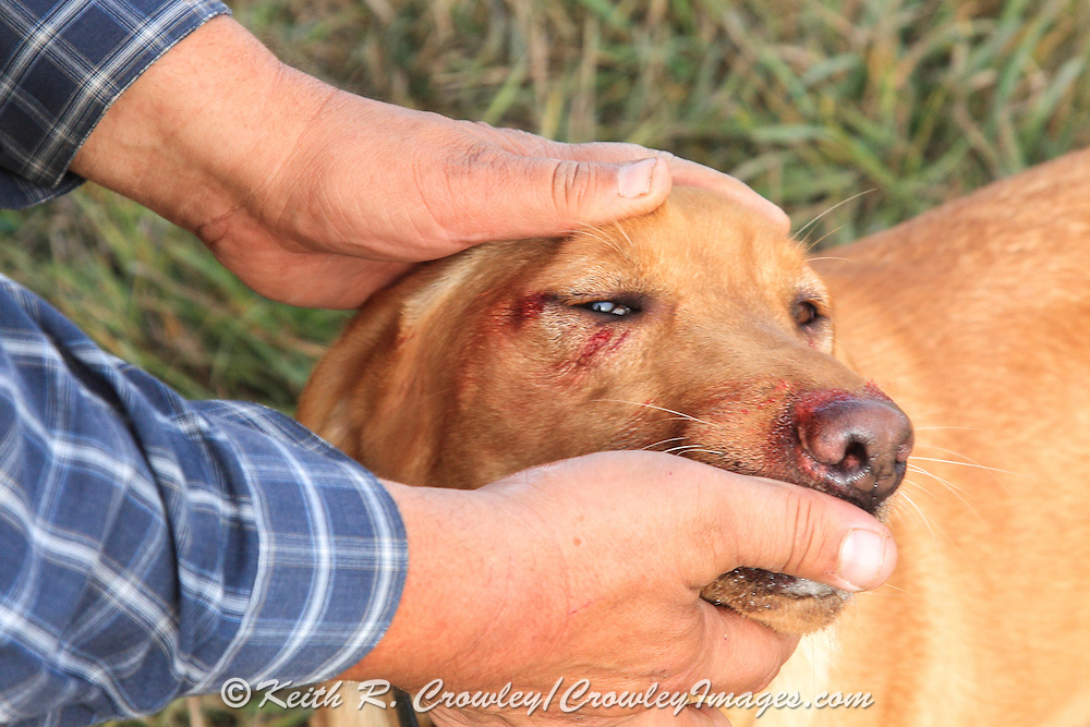 A hunter examines cuts and scratches on hisYellow Labrador retriever during a pheasant hunt in South Dakota
