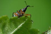Weevil (Apion assimile) , Burgwald, Gearmany | Spitzmausrüßler (Apion assimile) Rüsselkäfer (Curculionidae)