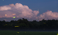 Fireflies over a farm field, lightning in the clouds and Jupiter at top in the sky in the Town of Wallkill, New York, on July 17, 2020.