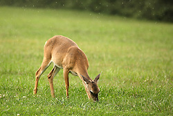 July 2007: Wild deer at the Chickamauga National Park in Georgia, during a light rain. Attractions near Chattanooga Tennessee. Point Park, National Park Service - Lookout Mountain, TN. (Photo by Alan Look)