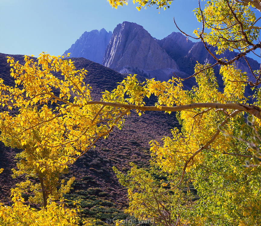 Cottonwood and Mt. Morrison, near Convict Lake, Inyo National forest, California