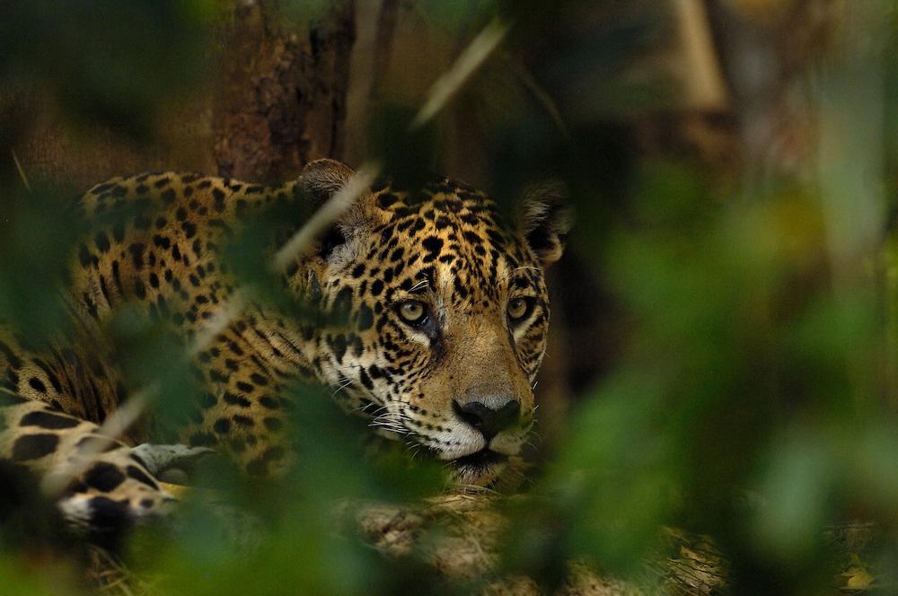 Pete OXFORD, WILD Jaguar, WILDLIFE<br /> Julio Zaldumbide 506 y Toledo, Quito, Ecuador, South America.<br /> Tel: 593-2-2226958      Mail: pete@peteoxford.com<br /> <br /> A 100% WILD jaguar in the Pantanal, Brazil