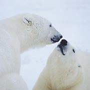 A portrait of a polar bear mother and cub. Hudson Bay, Canada