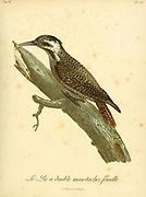 Female Pic à double moustache. [Woodpecker] from the Book Histoire naturelle des oiseaux d'Afrique [Natural History of birds of Africa] Volume 6, by Le Vaillant, Francois, 1753-1824; Publish in Paris by Chez J.J. Fuchs, libraire 1808