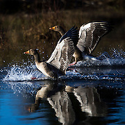 Greylag Goose landing on water