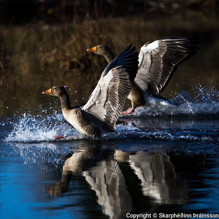 Greylag Goose landing on water