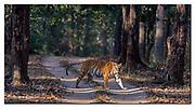 Bengal tiger crossing the road in Kanha National Park, India. Nikon D5, 200-400mm @ 400mm, f4, 1/800sec, ISO500, Aperture priority