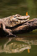 Black Caiman with Butterfly on Nose<br />