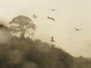 Retorno de un verano / pelícanos pardos / corotú / Ciudad de Panamá.<br /> <br /> Género fotográfico: Pictorialismo.<br /> <br /> Edición de 10   Víctor Santamaría.<br /> <br /> <br /> Return of a summer / brown pelicans / ear tree / Panama city.<br /> <br /> Photographic genre: Pictorialism.<br /> <br /> Edition of 10   Víctor Santamaría.