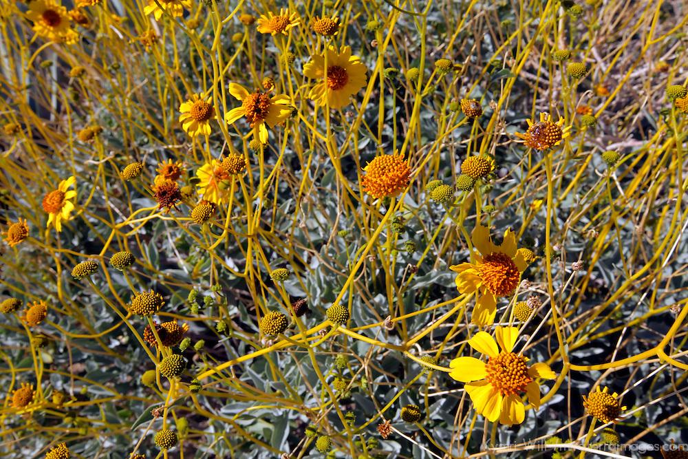 USA, California, San Diego County. Brittlebush flowers blooming in Anza-Borrego Desert State Park.