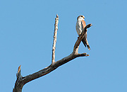 Madagascar kestrel, Falco newtoni, perched, Berenty National Park, Madagascar, also known as Malagasy spotted kestrel, Newton's kestrel, Madagascar spotted kestrel, Least Concern (LC) on the IUCN Red List