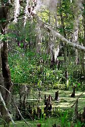 02 June 2014. Jean Lafitte National Historic Park, Louisiana.<br /> The Barataria Preserve wetlands south or New Orleans.<br /> Charlie Varley/varleypix.com