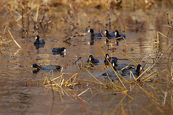 Emiquon Nature Preserve and Wildlife Refuge -  American Coots (Fulica americana) swimming in lake water with a group of on a mostly cloudy day in central Illinois