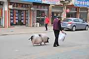 JIANHU, CHINA - APRIL 11: (CHINA OUT) <br /> <br /> 61kg Pet Pig In Jiangsu<br /> <br />  74-year-old Tao Liqin walks with her pet pig, 61kg in weight, on April 11, 2014 in Jianhu, Jiangsu Province of China. Tao\'s granddaughter spent 700 yuan (106 USD) to buy the pet pig, who was 1kg in weight, online last year. And it suddenly started to grow after being castrated.<br /> ©Exclusivepix