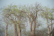 Baobab Trees in early morning mist, Berenty National Park, Madagascar