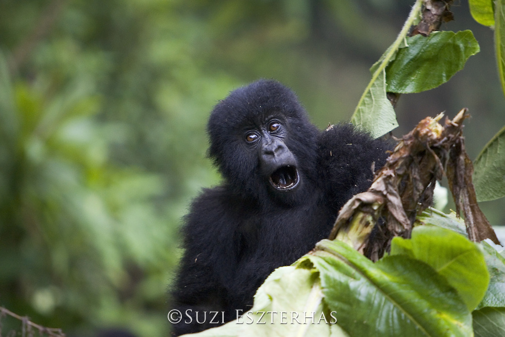 Mountain Gorilla<br /> Gorilla gorilla beringei<br /> 1.5 year old baby climbing on tree<br /> Parc National des Volcans, Rwanda