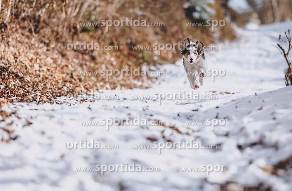 THEMENBILD - ein Hund läuft auf einem mit Schnee bedeckten Weg, aufgenommen am 04. Dezember 2020, Piesendorf, Österreich // a dog runs on a path covered with snow on 2020/12/04, Piesendorf, Austria. EXPA Pictures © 2020, PhotoCredit: EXPA/ Stefanie Oberhauser