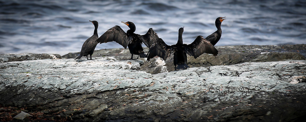 Cormorants out on the rocks to dry