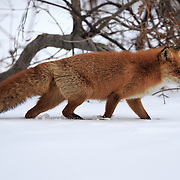 Red fox, Sakhalin subspecies (Vulpes vulpes schrencki) foraging for food in the winter snow of Hokkaido. Photographed in Shiretoko National Park.