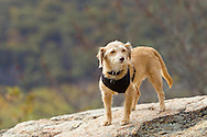 Bear Mountain, New York  - A dog stands on a rocky ledge at the top of Bear Mountain at Bear Mountain State Park on Oct. 24, 2014.