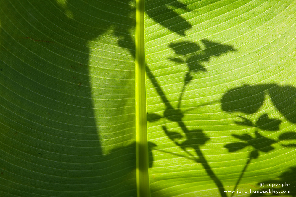 Light shining through the leaf of Musa basjoo in the Exotic Garden at Great Dixter. Japanese banana
