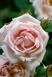 Rosa 'New Dawn' syn. R. 'The New Dawn'