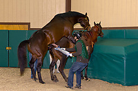 Breeding thoroughbred horses (stallionis Sharp Humor and mare is Subtle Song), Winstar Farm (thoroughbred horse farm), Versailles (near Lexington), Kentucky USA