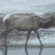 Elk cow walking along the bank of a creek in a driving snow storm.