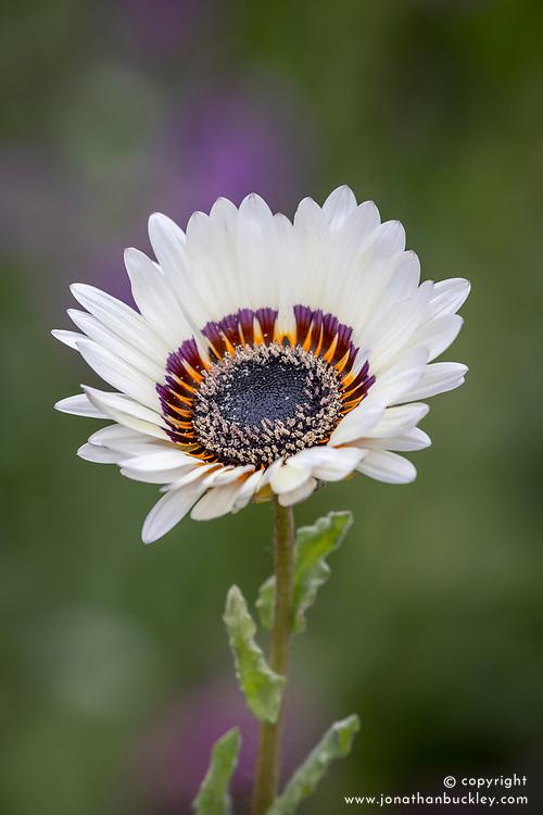 Arctotis fastuosa, 'Zulu Prince' - Cape Daisy, African Daisy