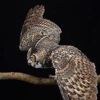 Great Horned Owl (Bubo virginianus), captive
