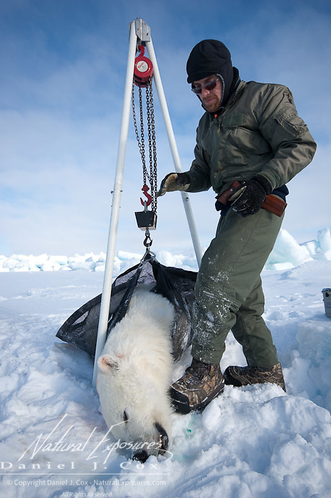 Geoff York, a USGS biologist uses a portable block and tackle device to take weight measurements of a polar bear (Ursus maritimus) on the Beaufort Sea ice. Kaktovik, Alaska.
