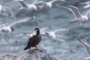 A Great cormorant stands on a rock in snowstorm, with a flock of gulls in the background | En storskarv som står på et berg i snøstorm, med en flokk måker i bakgrunnen.