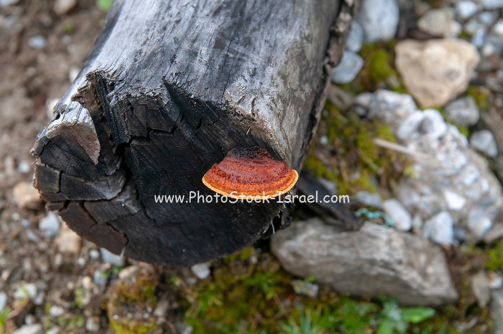 Toadstool grows on a rotting tree trunk. Photographed in Stubaital, Tyrol, Austria in September