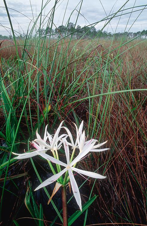 Swamp lily, Big Cypress National Preserve, Florida, USA
