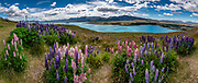 Nonnative Russell lupin flowers bloom in early January 2019 on Mount John above Lake Tekapo, in the Southern Alps, South Island, New Zealand. The plant's widespread diaspora began with David Douglas bringing the herbaceous lupine (Lupinus polyphyllus) from North America to Britain in the 1820s. In the early 1900s, George Russell, a horticulturist from York, UK, spent two decades breeding the Russell hybrids (Lupinus X russellii hort). First naturalized to New Zealand by local farmers wanting to beautify their landscape in the 1950s, Russell lupins have invaded large areas of roadsides, pastures, and riverbeds. This alien plant most threatens indigenous species in the braided river beds of Canterbury region. Russell lupin is classed as an invasive species in New Zealand, Sweden, Norway, Switzerland, Argentina, the Czech Republic, Finland, Lithuania, and Ukraine. This image was stitched from multiple overlapping photos.