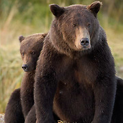 Alaskan Brown Bear, (Ursus middendorffi) Mother and cub. Katmai National Park. Alaska.