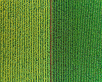 Aerial view of rows of sunflower and corn in fields.